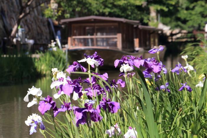 屋形舟が行きかう風情ある景色と、女王のように気品あふれる花菖蒲が織りなす景色は、思わずカメラに収めたくなるほどの美しさです。