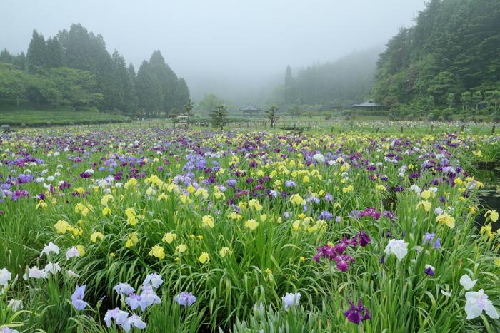 色とりどりの花を咲かせる花菖蒲園の美しさは傑出しており、遠遊式庭園の境内はどこを切り取っても絵になります。
