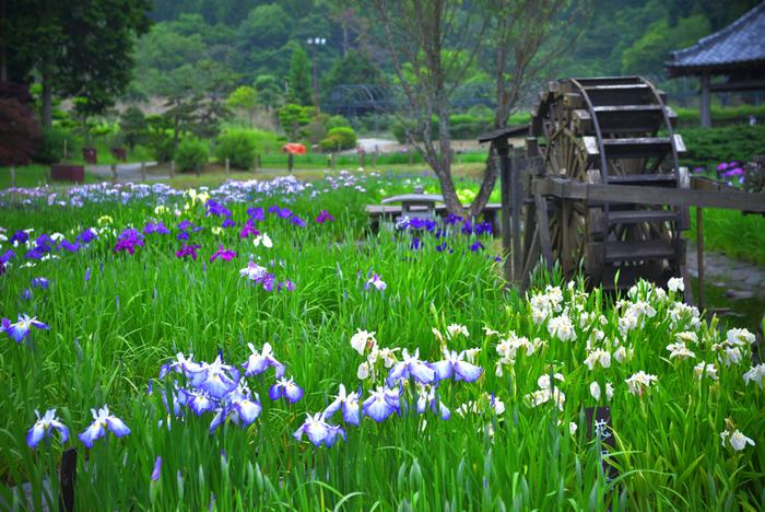 広大な園内には、約650種類もの花菖蒲が植えられており、毎年6月から7月頃にかけて見頃を迎えます。