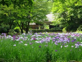 JR北鎌倉駅より徒歩で10分の距離にある「明月院」は紫陽花のお寺としても有名ですが、菖蒲の花が咲き誇る時期に訪れるのもおすすめです。涼しげな色合いの花菖蒲を、心ゆくまで楽しむことができます。