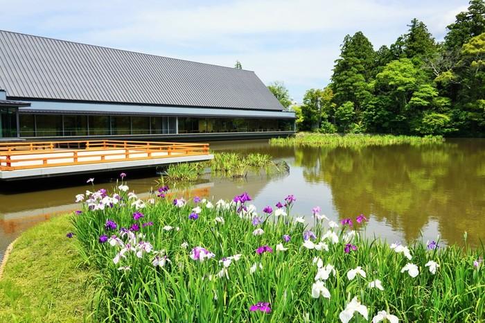 いつも大勢の参拝者で賑わう伊勢神宮は日本で最も格式高い神社の一つです。毎年6月頃になると、境内には花菖蒲が次々と開花し、荘厳で静謐な境内の美しさを引き立てています。