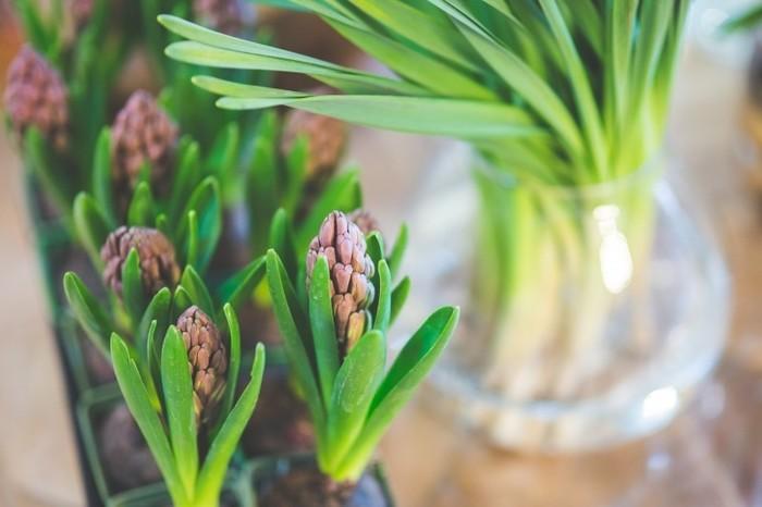 小学生の頃、朝顔の栽培などと共にやったことがある方も多いと思われる水耕栽培の代表格が「ヒヤシンス」。プクプクとした蕾がとても可愛いんですよ。