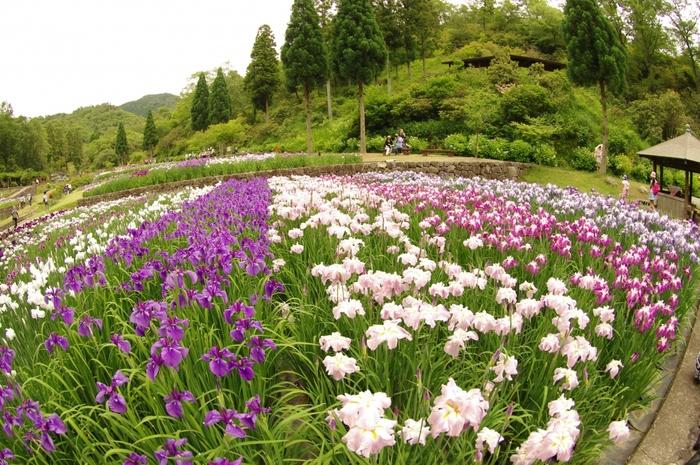 競うように花を咲かせる花菖蒲が庭園を覆い尽くす様は圧巻で、まるで大地に花菖蒲の絨毯を敷き詰めたかのようです。