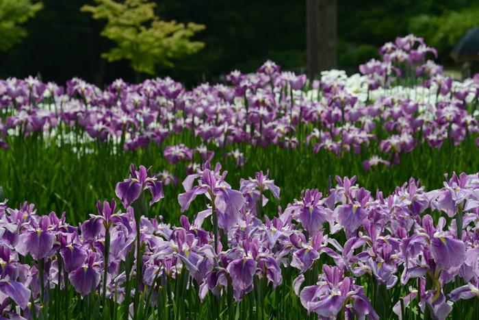 敷地内には、約1000品種もの花菖蒲が植えられており、その本数は100万本に及びます。