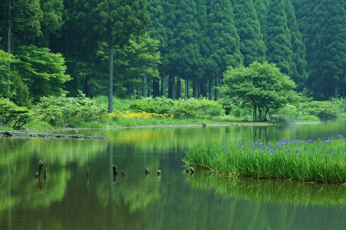 滋賀県高島市の山間部にある平池には、約1万本もの杜若が咲く浮島があります。