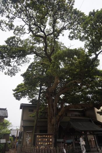 境内には、推定樹齢350年を超える「タブノキ」があります。鎌倉市指定の天然記念物と「かながわの名木100選」に選ばれている、歴史ある立派な樹木です。