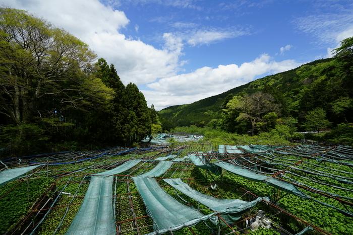 わさびの生産地、静岡県の名産品となっているわさび漬け。わさびの清涼な香りとツーンとくる辛味、そして酒麹の甘みがよく合う、口当たりのよい漬物です。明治22年に東海道本線が開通された際に、静岡駅でお土産物として売られ、各地に知られるようになったそうです。