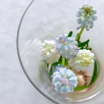 とっても可愛くて儚げな「ムスカリ」。そして春の定番「チューリップ」「水仙」も水耕栽培にオススメです。