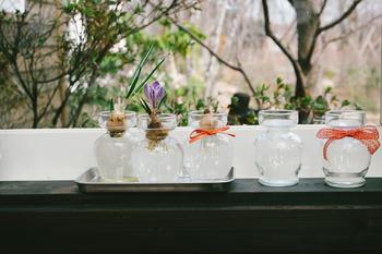 ヒヤシンス同様に水耕栽培でオススメなお花が「クロッカス」。クロッカスはとっても丈夫な植物なので初心者さんにもオススメです。