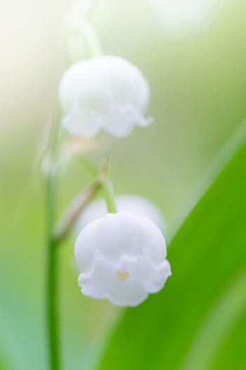 すずらんは、ヨーロッパでは春のシンボル的な花として知られいます。また、滴のような形から「聖母マリアの涙」とも喩えられているそうです。