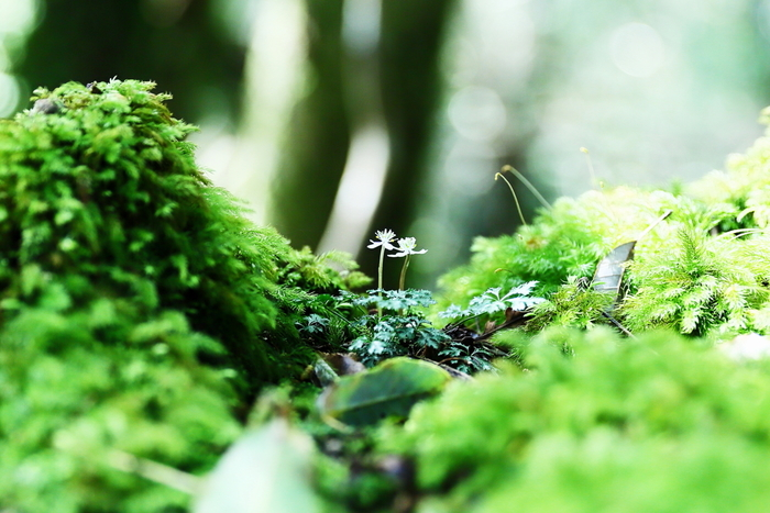 屋久島の壮大なパワーを感じながら苔をじっくりと観察していると、かわいい苔の花に出会えることもありますよ。