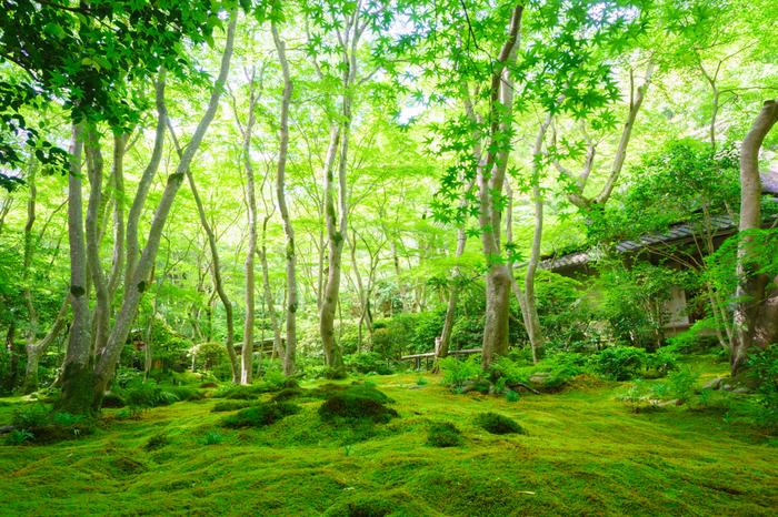 苔庭には色調の異なる何種類もの苔が広がり、春から夏にかけての新緑の季節は、格別の美しさです。