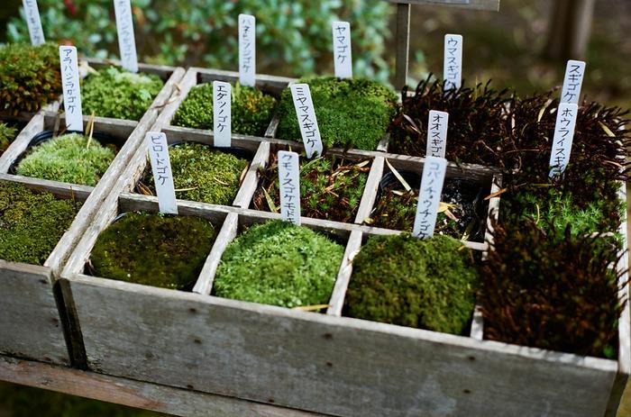 湿度の高いところを好み、古木や岩石などに張り付いて成長していく植物「苔」。苔の種類は、苔類(たいるい)、蘚類(せんるい)、ツノゴケ類の3つの種類に分けられます。世界で約二万種ほど、日本国内では約1800種の苔が生育していると言われています。