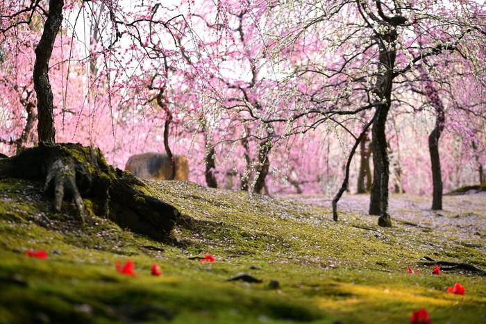 例年、2月中旬~3月中旬頃まで、しだれ梅と椿の美しい景色を楽しむことができます。一面に広がる緑の苔、その上に散った赤い椿の花と桃色に色付いたしだれ梅のコラボは、なんとも言えない美しさです。