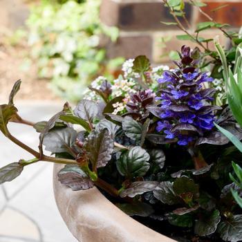濃色の葉が特徴的なアジュガは、日中の大半が日陰でも育つシソの仲間。春に青紫色の花を咲かせます。ダークカラーの植物をコーディネートすれば、シックで落ち着いた雰囲気の寄せ植えに。白い小花をアクセントに加えて、抜け感をプラスしてもいいでしょう。