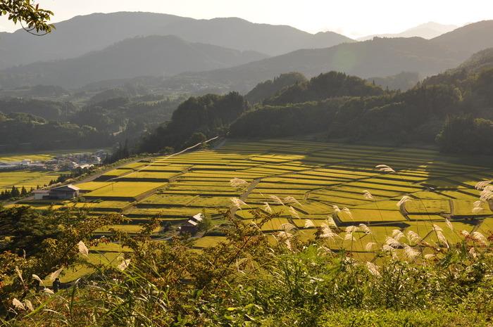 四季折々で美しい景色を見せてくれる椹平の棚田における秋の美しさは傑出しています。一面に広がる棚田に稲穂が実っている様は、まるで大地に黄緑色の絨毯を敷き詰めたかのようです。