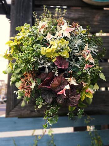 寄せ植えの引き立て役になることも多い、ハツユキカズラやヒューケラなどの個性的なカラーリーフ。これらをメインにした寄せ植えはいかがでしょう。グリーンの濃淡に加え、紫やピンクをちりばめた寄せ植えは、どの角度から見ても植物たちがにぎやかにおしゃべりをしているようです。