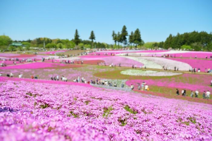 秩父市街地を見渡せる羊山公園(ひつじやまこうえん)の南側ブロックに位置する「芝桜の丘」。秩父夜祭の躍動感や山車に乗った囃子手(はやして)の襦袢(じゅばん)模様をイメージしたという、40万株以上の色とりどりの芝桜が広がります。毎年GWには、多くの人で賑わう観光地です。