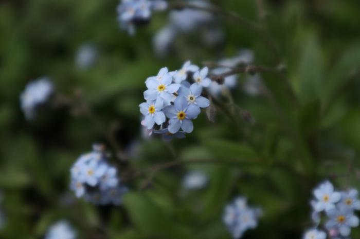 葉っぱが丈夫なワスレナグサも、「逆さ水」を行います。先ほどと方法は同じですが、ワスレナグサはお花が小さいため、水で濡れてしまわないように注意が必要です。