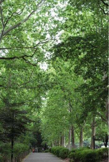 ポプラ並木、都内では稀少です♪