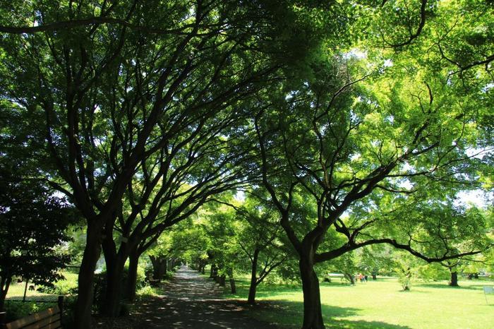 高台には、明治期に街路樹用として試験的に植えられ、100年あまり経て巨木に成長したオオバボダイジュやスズカケノキなどが集中。近年、どちらの木も街路樹として大きくなりすぎると都会では敬遠されていますが、ここではおおらかに育っています。 画像はカエデ並木。春の新緑、秋の紅葉、夏は大きく広げた枝が緑陰を作ってくれます。