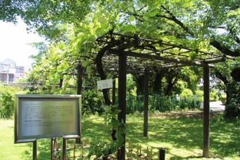 『メンデルのブドウ』。 遺伝学の基礎を築いたG. J. メンデル (1822-1884) が実験に用いた葡萄の分株だそうです。