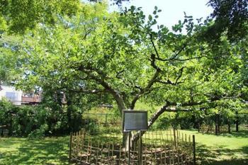 『ニュートンのリンゴ』。 万有引力の法則を発見したI・ニュートン(1642-1727)の生家にあったリンゴの木から、接ぎ木により小石川植物園にも分けられました。