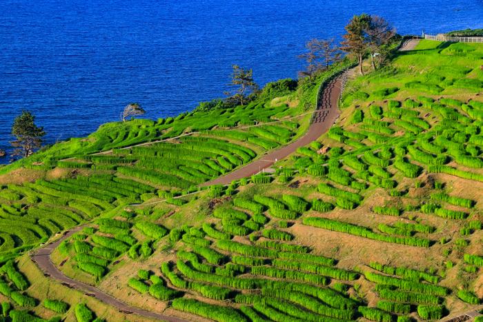 石川県輪島市にある白米千枚田(しろよねせんまいだ)は、日本の棚田百選のほか、世界農業遺産、国の名勝にも指定されている石川県を代表する景勝地の一つです。