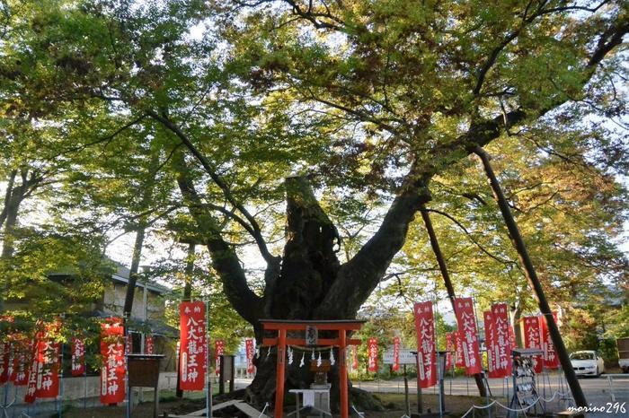 敷地内には、幹まわり7メートルを超える「龍神木」という御神木があります。埼玉県の天然記念物に指定されたケヤキの木です。武士が、武人としての命運が長く続くようにとの願いを込めて、今宮神社を参拝した際に馬をつないだことから「駒つなぎのケヤキ」とも呼ばれています。