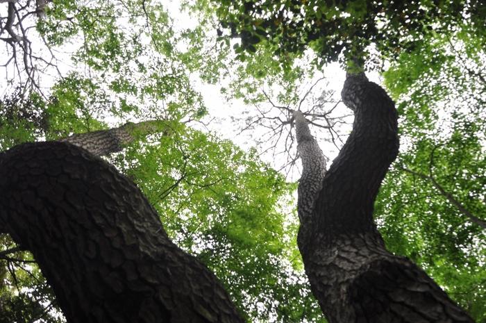 空に向かってうねるようなフォルムが迫力ものの『物語の松』(クロマツ)。※緑の葉はマツを取り囲むカエデのもの。 別の場所にあり、木肌が大蛇のうろこのように見えることから『大蛇(おろち)の松』と名付けられたクロマツと並んで、松平讃岐守の下屋敷の面影を残す松の一つとされています。