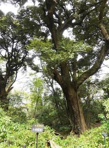 『シイの巨木』の看板が付けられたスダジイは高さ30mほどと、見上げていると首が痛くなる高さ!