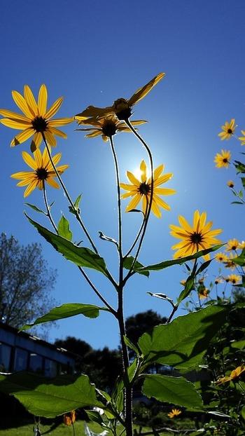 菊芋はキク科ヒマワリ族というだけあって、秋になるとヒマワリのような黄色い花を咲かせます。