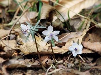 冬枯れの2月、落ち葉の中で開花するセツブンソウ。