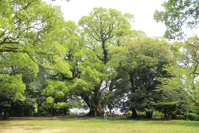 春の盛りに、新緑に生まれ変わったクスノキ(樹齢600年~800年)。