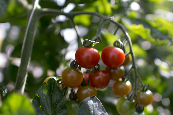 初夏から採れ始めるトマト。さっぱりした酸味と甘みがキッシュにはぴったりです。