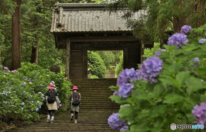 スギ木立と常緑樹の深い緑が山門に格調と落ち着きを与え、アジサイを際立たせています。栃木県栃木市・大中寺山門。