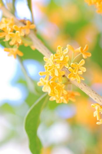 秋の深まりをはなやかな香りとちいさくも鮮やかな黄色の花で知らせてくれます。 真冬も濃い緑の葉を茂らせていますが、春の落葉に気づく人は少ないようです。