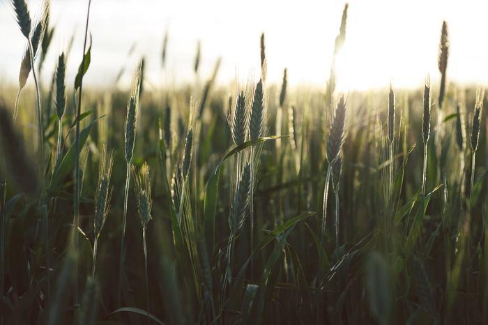 """""""オーガニック:organic""""は""""有機""""・""""有機栽培""""という意味にあたります。有機というのは、化学肥料や農薬、遺伝子組み換え技術などを使用せず、環境へ負担のかからない栽培方法、あるいはその素材のことです。"""