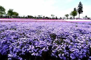 ピンク、白、紫色など9種、40万株以上植えられた芝桜のコントラストが美しい埼玉県秩父の羊山公園。秩父山、武甲山の麓に広がる絶景は、フォトジェニックな写真が撮れるスポットでもあります。