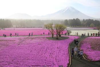 首都圏最大級となる80万株の芝桜が咲き誇る富士芝桜祭りでは、富士山周辺の美味しいグルメも集合します。花より団子派の方にも大満足スポットです。
