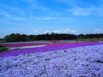 ネモフィラと芝桜の景色を同時に見る事ができる千葉県の富田さとにわ耕園。鮮やかな花のグラデーションカラーがとてもキレイです。