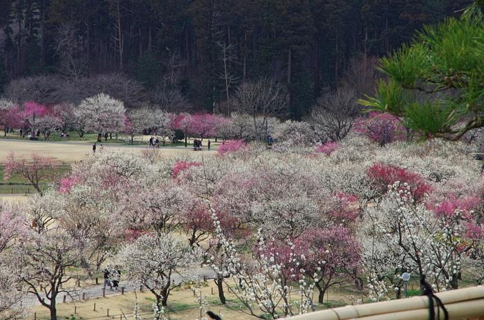 画像は茨城県水戸市・偕楽園。青々とした葉と風格あるフォルムの松が、梅の花を引き立てて。和の美ですね♪