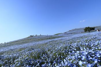 花旅ブームの火付け役とも言える茨城県ひたち海浜公園のネモフィラ。空と一体になった絶景ブルーの景色は圧巻です。