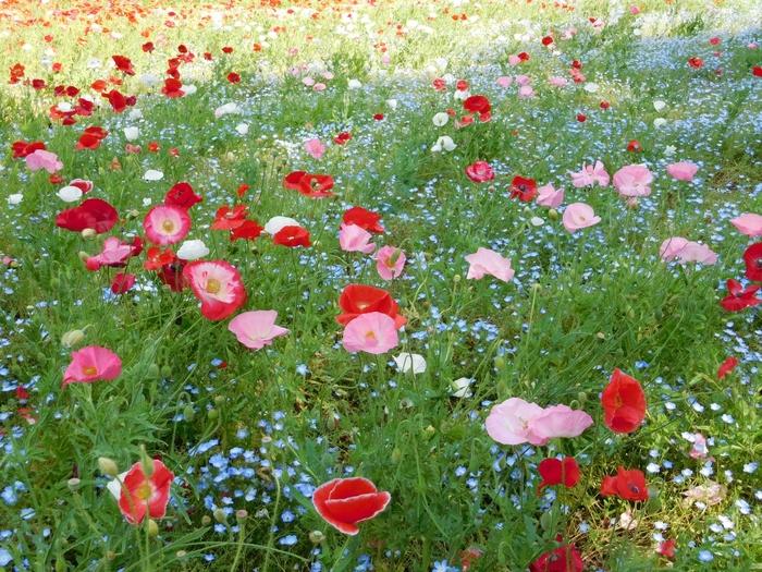 3種類100万本のポピーの景色が広がる横須賀のくりはま花の国。まるで天然のブーケのようなロマンティックな花畑がある園内では、収穫したハーブをブレンドした足湯コーナーもあるので、心も体も癒してくれます♪