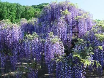 世界の夢の旅行先10選にも選ばれた栃木県のあしかがフラワーパークの大藤。鮮やかな紫色の景色は絵画のような美しさです。