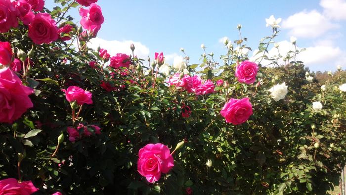 1,600品種1万株のバラが咲き誇る千葉県の京成バラ園では、ゴージャスなバラを鑑賞しながら本格シェフこだわりのガーデンレストランで、優雅に食事を楽しめます。