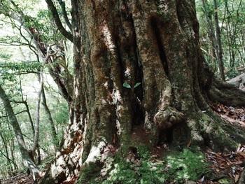 5月。熊本県山都町にある目丸山のアカガシ。根元には落ち葉がいっぱい。
