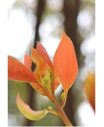 新芽は赤く、紅葉した古い葉と見間違えそうですが…
