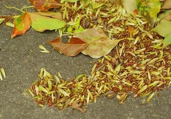 常緑広葉樹のクスノキは➀のタイプ。冬を越した葉は春に赤や黄色に姿を変え、落ちていきます。