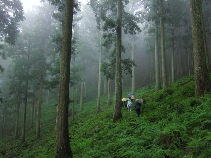 こちらも日本三大美林の1つ・吉野杉(奈良県吉野市)の8月。(撮影:筆者)